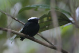 White-crowned Manakin