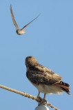 Red-tailed Hawk harassed by American Kestrel