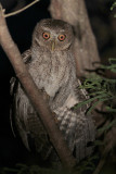 Puerto Rican Screech-Owl