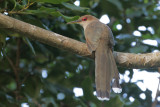 Puerto Rican Lizard-Cuckoo
