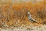 Scaled quail