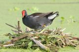 Common Moorhen on Nest
