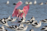 Roseate Spoonbill and American Avocets