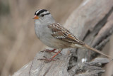 """White-crowned Sparrow """"gambelli"""""""