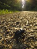 Dor Beetle (Geotrupes stercorarius or Anoplotrupes stercorosus)