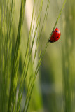 Seven-spot ladybird on Barley