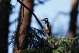 Woodpecker gathering ants