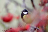 Parus major (Great tit) and berries