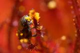 Tiny beetle eating pollen