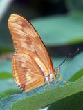 Julia Heliconian (Dryas julia)