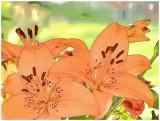 Lilies Color Sketch