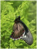 Oil Painting of Red Spotted Swallowtail