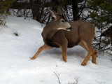 Winter Mule Deer