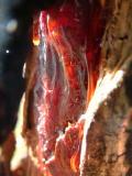 C24 Wounded Eucalyptus