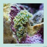 Lettuce Sea Slug (Nudibranch)