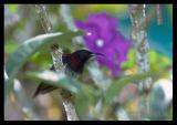 Black Throated Sunbird (male)