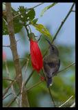 Black Throated Sunbird (Juvenile)