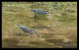 Little Heron (Juveniles)
