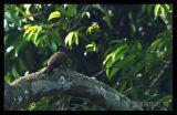 Streak-Breasted Woodpecker (Female)
