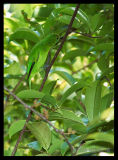 Lesser Green Leafbird (female)