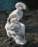 Swans 9