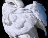 Swans 10