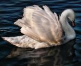 Swans 12