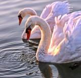 Swans 19