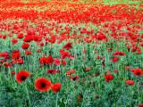 Poppies 22