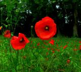 Poppies 23