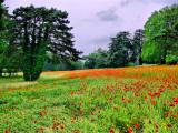 Poppies 24