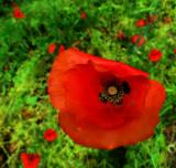 Poppies 26