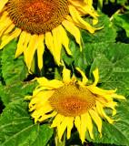 Sunflowers 52