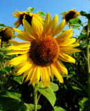 Sunflowers 53