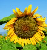 Sunflowers 54