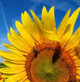 Sunflowers 55