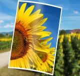 Sunflowers 56