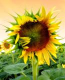 Sunflowers 57