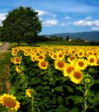 Sunflowers 58