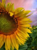 Sunflowers 59