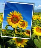 Sunflowers 61