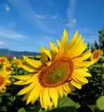 Sunflowers 62