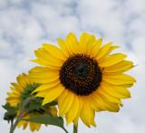 Sunflowers 64