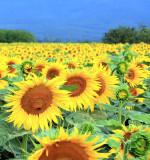 Sunflowers 66