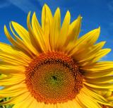Sunflowers 67