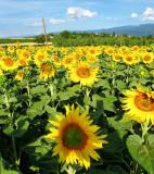 Sunflowers 68
