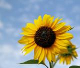 Sunflowers 70