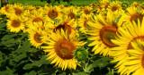 Sunflowers 71