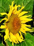 Sunflowers 73