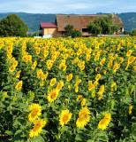 Sunflowers 74